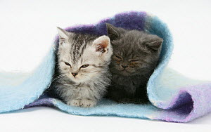 Two kittens asleep under a scarf. - Mark Taylor