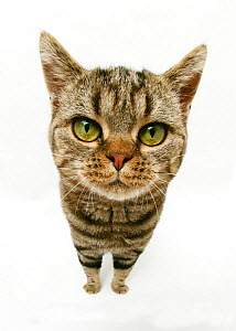 British Shorthair Brown Spotted cat, distorted proportions - Mark Taylor