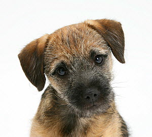 Border Terrier bitch puppy, Kes, with head cocked on one side  -  Mark Taylor