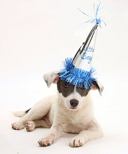Blue-and-white Jack Russell Terrier puppy, Scamp, wearing a party hat.  -  Mark Taylor