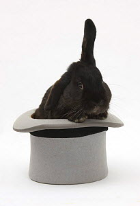 Black rabbit with windmill ears in a grey top hat. - Mark Taylor