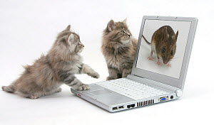 Two Maine Coon kittens looking at an image of a mouse on a laptop computer. - Mark Taylor