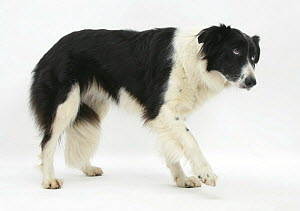 Black-and-white Border Collie, Phoebe, walking, raising her lame paw.  -  Mark Taylor