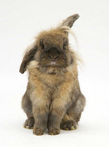 Lionhead rabbit with windmill ears, sitting up. - Mark Taylor