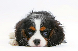 Tricolour Cavalier King Charles Spaniel puppy, lying with chin on floor.  -  Mark Taylor