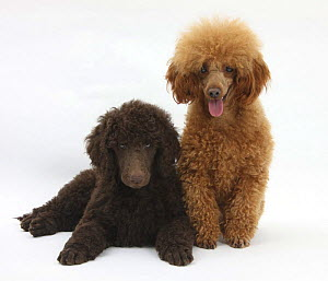 Chocolate Standard Poodle puppy, Tara, 8 weeks, with adult Red Toy Poodle, Reggie, 18 months  -  Mark Taylor
