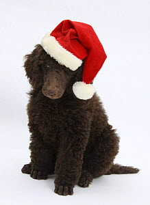 Chocolate Standard Poodle puppy, Tara, 8 weeks,  sitting, wearing a Father Christmas hat.  -  Mark Taylor