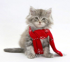 Maine Coon kitten wearing a Christmas scarf. - Mark Taylor