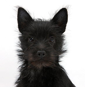 Black Terrier-cross puppy, Maisy, 3 months, portrait  -  Mark Taylor