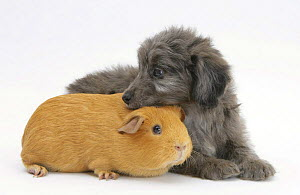 Shetland Sheepdog x Poodle puppy, 7 weeks, with Guinea pig.  NOT AVAILABLE FOR BOOK USE  -  Mark Taylor