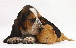 Basset Hound puppy, Betty, 9 weeks, with ear over a red guinea pig.  NOT AVAILABLE FOR BOOK USE - Mark Taylor