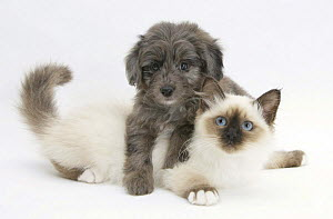 Shetland Sheepdog x Poodle puppy, 7 weeks, with Birman kitten.  NOT AVAILABLE FOR BOOK USE  -  Mark Taylor