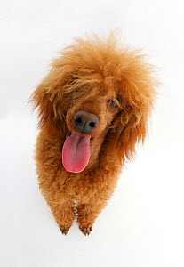 Red toy Poodle, Reggie, looking up.  -  Mark Taylor