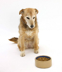 Lakeland Terrier x Border Collie, Bess, 14 years, looking forlornly at her food - Mark Taylor
