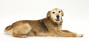 Lakeland Terrier x Border Collie, Bess, 14 years old - Mark Taylor