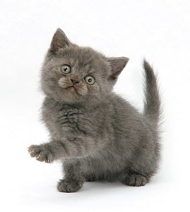 RF- Grey kitten holding out paw. (This image may be licensed either as rights managed or royalty free.)  -  Mark Taylor