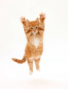 Ginger kitten leaping with legs outstretched  -  Mark Taylor