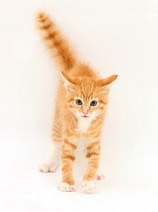 Ginger kitten with tail in the air - Mark Taylor