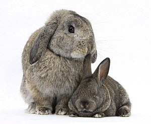 Grey adult Lop and baby Agouti rabbits  -  Mark Taylor