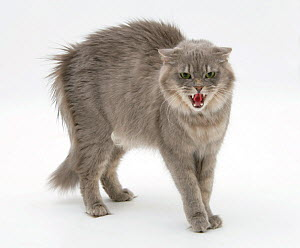 Maine Coon female cat, Serafin, in fierce defensive posture - Mark Taylor
