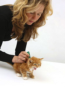 Applying spot-on flea treatment to a ginger kitten, model released  -  Mark Taylor