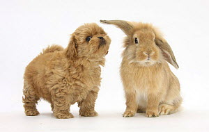 Peekapoo (Pekingese x Poodle) puppy and Sandy Lop rabbit NOT AVAILABLE FOR BOOK USE - Mark Taylor