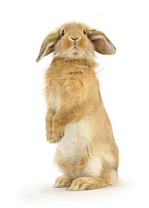 Sandy Lop rabbit sitting up on its haunches.  -  Mark Taylor