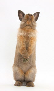 Lionhead-cross rabbit sitting up on its haunches  -  Mark Taylor