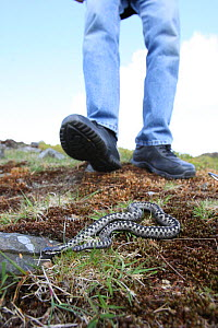 Male Adder (Vipera berus) on ground with a walker nearly stepping on it, Peak District, UK  -  Paul Hobson