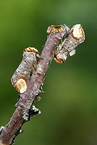 Two Buff-tip moths (Phalera bucphala) on birch twig, South Yorkshire, UK - Paul Hobson