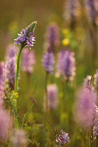 Common spotted orchids (Dactylorhiza fuschii) in flower, Peak District, UK - Paul Hobson