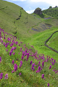 Early purple orchids (Orchis mascula) in flower, Cressbrook Dale, Derbyshire, UK - Paul Hobson
