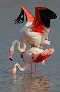 Greater flamingo (Phoenicopterus ruber) pair mating, Camargue, France - Paul Hobson