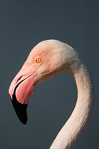 Greater flamingo (Phoenicopterus ruber) portrait, Camargue, France  -  Paul Hobson