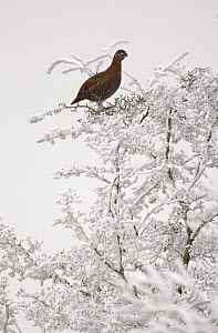 Red grouse (Lagopus lagopus scoticus) perched in tree covered in rime frost, Peak District, UK, New years day 2009  -  Paul Hobson