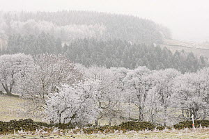 Rime frost covering trees, Peak District, UK, New years day 2009 - Paul Hobson