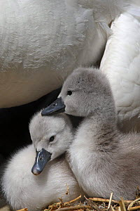 Two Mute swan (Cygnus olor) cygnets, Dorset, UK  -  Paul Hobson