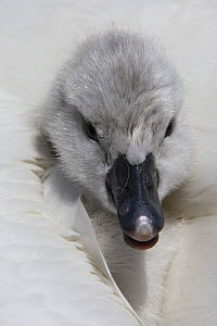 Mute swan (Cygnus olor) cygnet looking out from between parents feathers, Dorset, UK - Paul Hobson