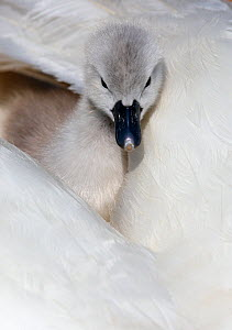Mute swan (Cygnus olor) looking out from between feathers, Dorset, UK  -  Paul Hobson