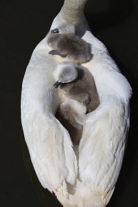 Three Mute swan (Cygnus olor) cygnets on parents back, Dorset, UK  -  Paul Hobson