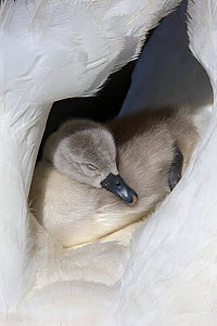 Mute swan (Cygnus olor) cygnet sleeping on parents back between wings, Dorset, UK  -  Paul Hobson