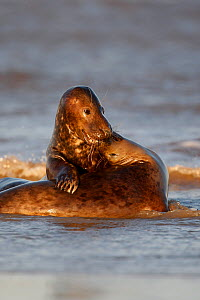 Two Grey seals (Halichoerus grypus) playing in surf, Lincolshire coast, UK - Paul Hobson