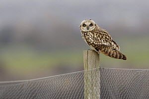 Short eared owl (Asio flammeus) sitting on fence post, South Yorkshire, UK - Paul Hobson