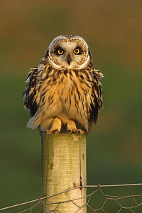 Short eared owl (Asio flammeus) on fence post, South Yorkshire, UK - Paul Hobson