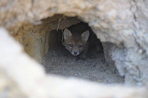 Young Corsac fox (Vulpes corsac) looking out of den, Rostovsky Nature Reserve, Rostov Region, Russia, April 2009 - Wild Wonders of Europe / Shpilenok