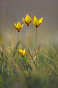 Rare yellow Bieberstein tulips (Tulipa biebersteiniana) in flower, Rostovsky Nature Reserve, Rostov Region, Russia, April 2009  -  Wild Wonders of Europe / Shpilenok