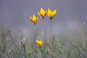 Four rare yellow Bieberstein tulips (Tulipa biebersteiniana) in flower, Rostovsky Nature Reserve, Rostov Region, Russia, April 2009  -  Wild Wonders of Europe / Shpilenok