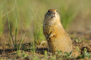 Pygmy ground squirrel / souslik (Spermophilus pygmaeus) standing on hind legs alert, Cherniye Zemli (Black Earth) Nature Reserve, Kalmykia, Russia, May 2009  -  Wild Wonders of Europe / Shpilenok