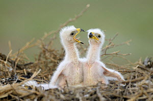 Two Steppe eagle (Aquila nipalensis) chicks, Cherniye Zemli (Black Earth) Nature Reserve, Kalmykia, Russia, May 2009  -  Wild Wonders of Europe / Shpilenok