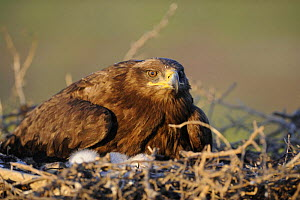 Steppe eagle (Aquila nipalensis) on nest with chicks, Cherniye Zemli (Black Earth) Nature Reserve, Kalmykia, Russia, May 2009  -  Wild Wonders of Europe / Shpilenok